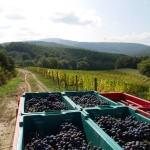 I grappoli vengono avviati alla cantina di vinificazione in perfette condizioni e in tempi rapidi